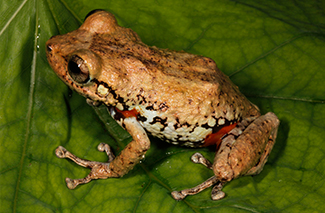 Hispaniolan Orange-legged Frog (Eleutherodactylus lamprotes)