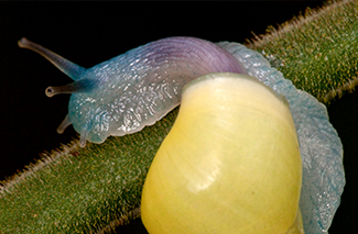 Yellow Snail (Drymaeus sp.)