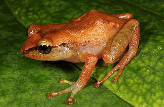 New Species of Eleutherodactylus