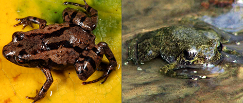 Fig. 5. New tiny frog species (left) and rediscovered stream frog (right). SBH, JH