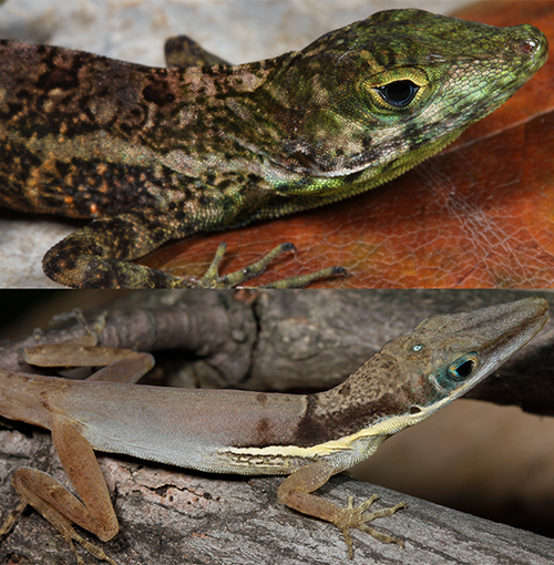 Fig. 6. Threatened lizards, Anolis rupinae (above) and A. dolichocephalus (below). SBH