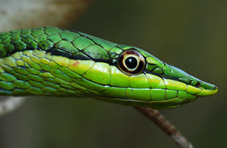 Lesser Sharp-nosed Treesnake (Uromacer frenatus)