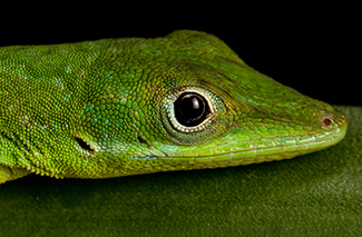 Southern Green Anole (Anolis coelestinus)